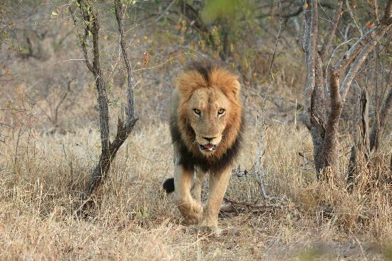 Gomo Gomo Game Lodge: Lion Sighting - Day Drive