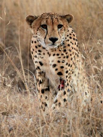 Gomo Gomo Game Lodge: Cheetah Sighting - Day Drive