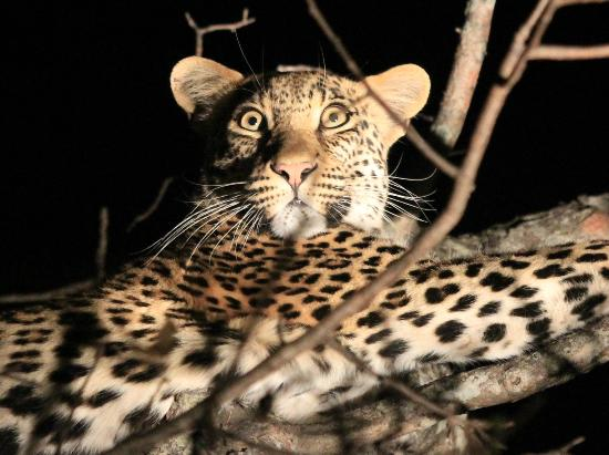 Gomo Gomo Game Lodge: Leopard Sighting - Night Drive (offroading)