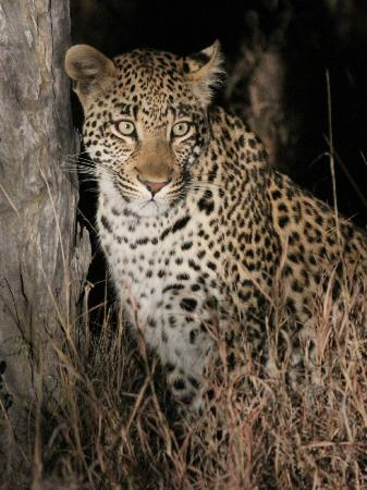 Gomo Gomo Game Lodge: Leopard Sighting - Night Drive (offroading)2