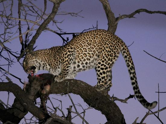 Gomo Gomo Game Lodge: One more leopard at night with its kill