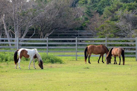 Cape Hatteras National Seashore: Pony pens on Ocracoke