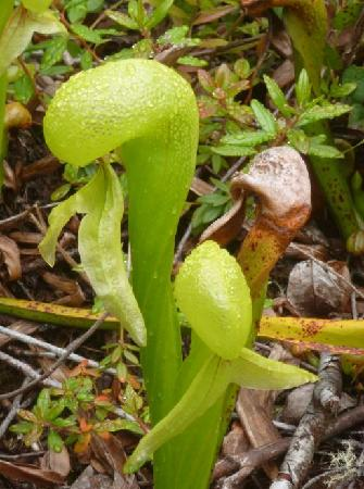 Florence, OR: One of the few places you can see the Cobra Lily in the wild