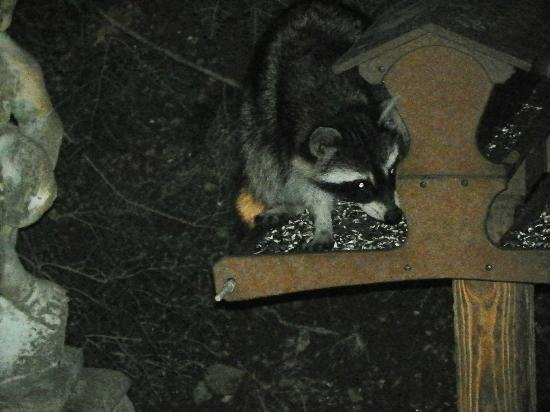 Arsenic and Old Lace Bed & Breakfast Inn: raccoon in garden area