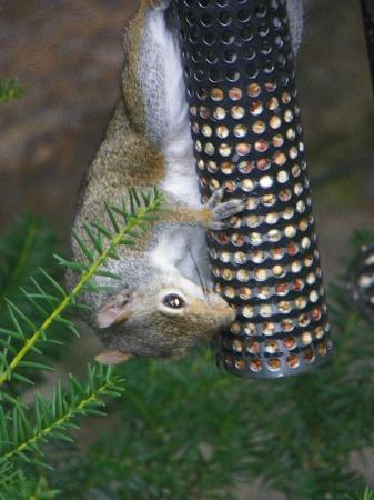 Arsenic and Old Lace Bed & Breakfast Inn: Squirrel on feeder in garden area