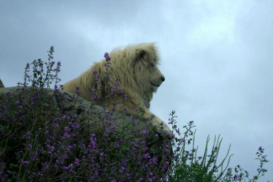 Isle of Wight Zoo : Casper the White Lion
