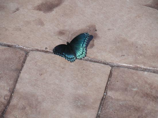 Great Buck Lodge: A beautiful butterfly on the patio