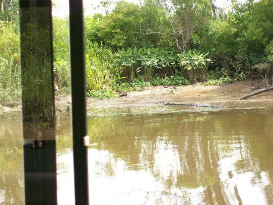 Plantation River Tours: See the gator?