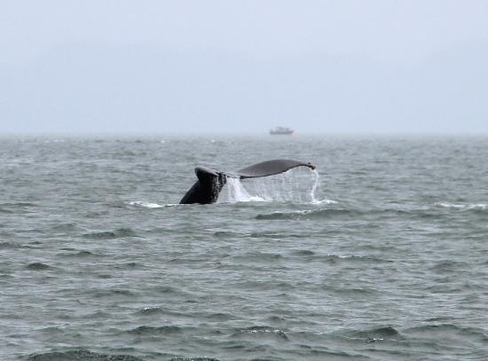 Weather Permitting Alaska - Whale Watching: humpback whale (6-30-12)