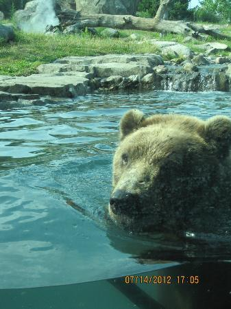 Minnesota Zoo: Up close and personal with a brown bear