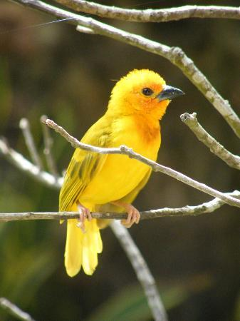 Pinewood Beach Resort & Spa: Weaver Bird