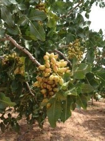 Heart of the Desert/Eagle Ranch Pistachios Farm Tour: Nut's on the tree