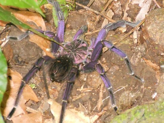 Purple Tarantula Picture Of Manglares Churute Mangrove