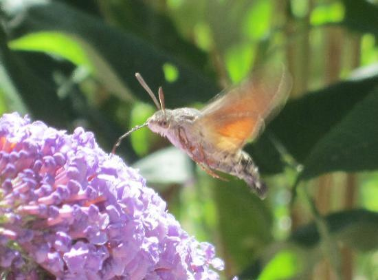 Villa Pian Di Cascina: Hummingbird Moth, in the butterfly bush outside of our room, gorgeous!