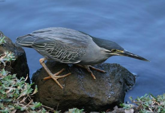 SSR Botanic Garden: Dieser Vogel ist am Hauptteich immer zu sehen
