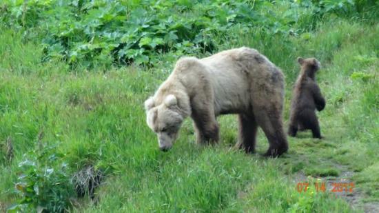 Andrews Airways: Kodiak mom bear