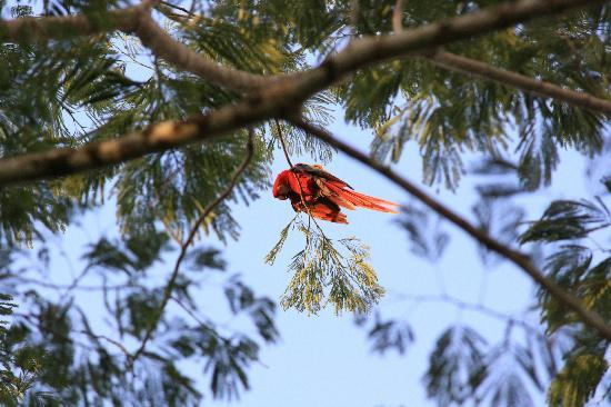 Bosque del Cabo Rainforest Lodge: Scarlet Macaw