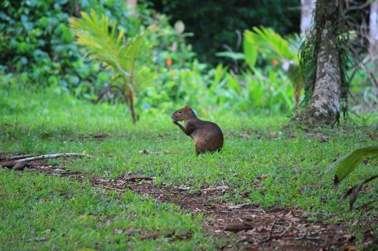 Bosque del Cabo Rainforest Lodge: Agouti!