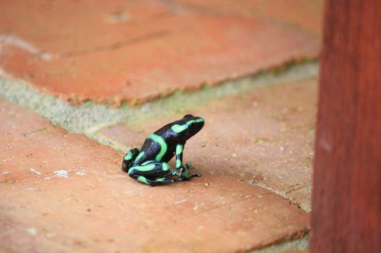 Bosque del Cabo Rainforest Lodge: Poison Dart Frog!