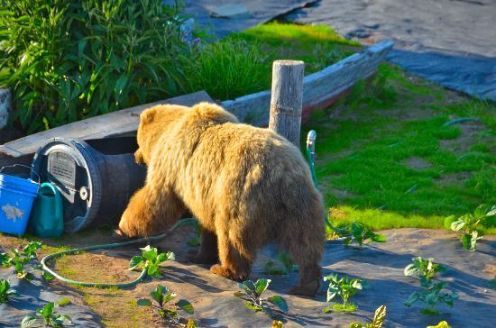 Alaska Homestead Lodge: Bear strolling through Sheila's garden