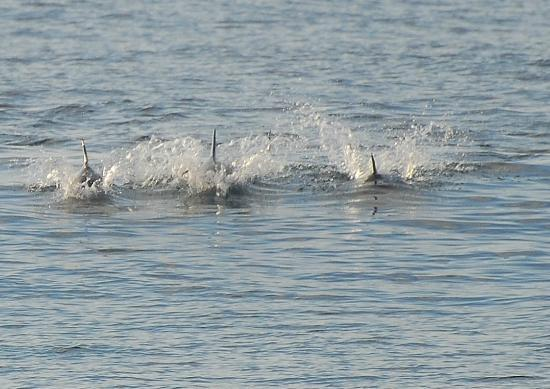 The Albatros Guest House: Dolphins in the morning