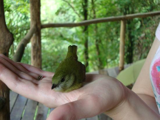Rio Magnolia Nature Lodge: This little bird flew into our window, he soon flew off unscathed...