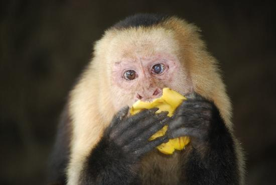 Tours Papagayo: White faced monkey from the Palo Verde National Park