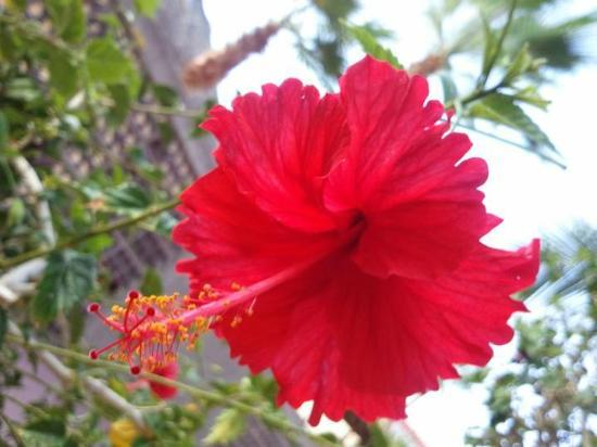 Hotel Buena Vista Beach Resort: one of manety diifrent kinds of flowers .