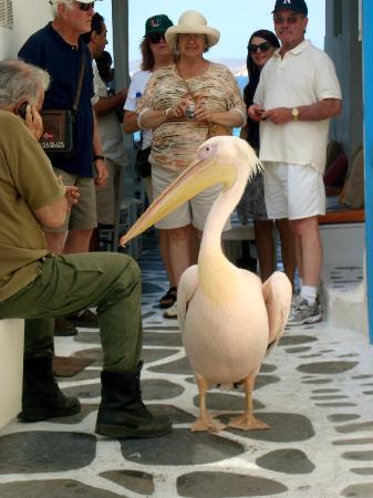 Klein-Venedig: Petro the Pelican in Little Venice, Mykonos