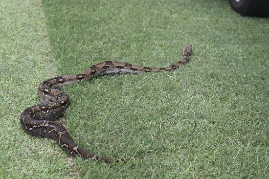 Four Seasons Resort Costa Rica at Peninsula Papagayo: boa constrictor on golf course