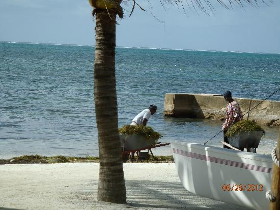Caribbean Villas Hotel: staff cleaning up the sea grass in the morning