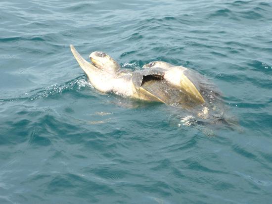 Finca Bavaria: 2 schildkröten vereint im meer