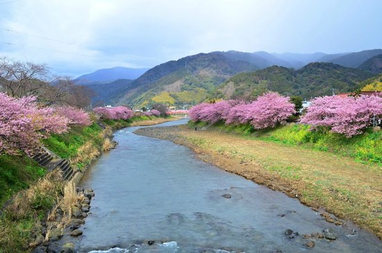 Kawazu-cho, ญี่ปุ่น:                   河津川の両側に桜並木が続いています