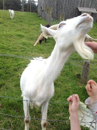 Nore Valley Park: friendly goat
