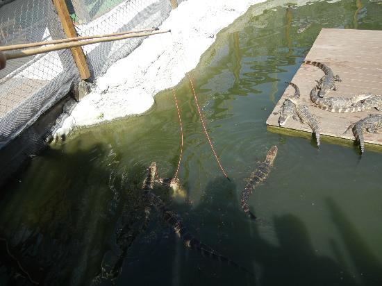 Smugglers Cove Adventure Golf : gator feeding