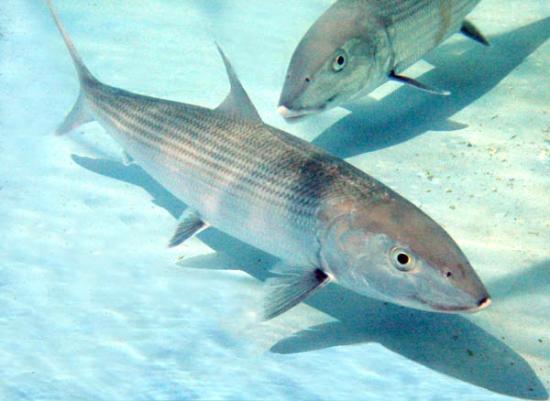Tranquillity On The Bay Resort: Bone Fishing, Crooked Island