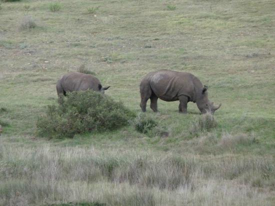 Garden Route Game Lodge: Rhino family
