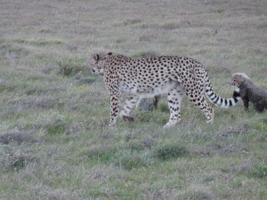 Garden Route Game Lodge: Cheetah mom