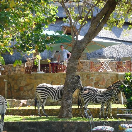 Hornbill Lodge: Zebra grazing on the lawns, just below the pool area