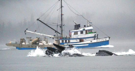 Gastineau Guiding Company - Juneau's Premier Guiding Company: Humpbacks Feeding