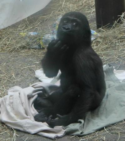 The Buffalo Zoo: Gorilla