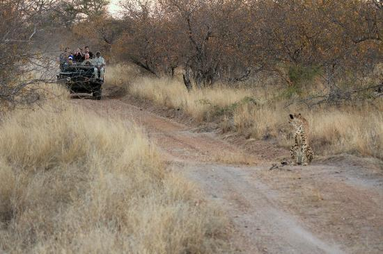 Gomo Gomo Game Lodge: Gomo Gomo Jeep with a spotted Cheetah