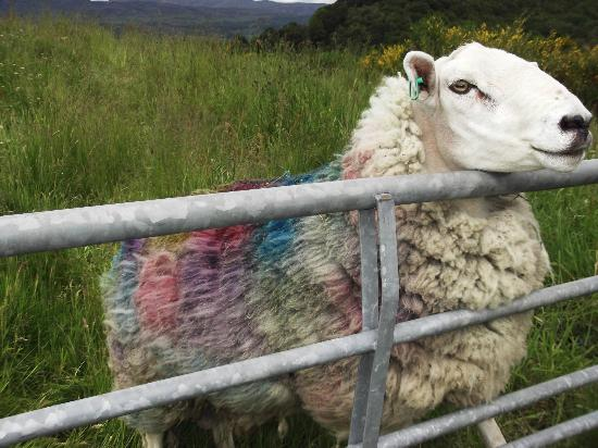 Killin Highland Lodges: Tartan sheep