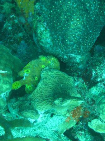 Coral Paradise Resort: Frogfish-rare to see