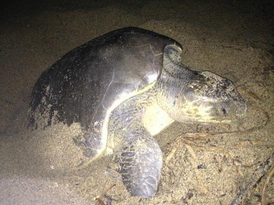 Playa Viva: Mama Turtle laying her eggs
