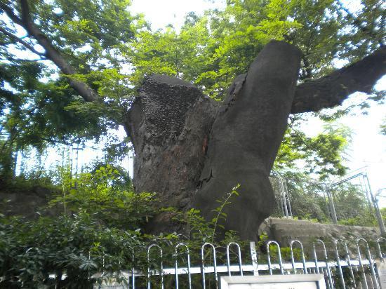 Hangang Park: 600 year old tree