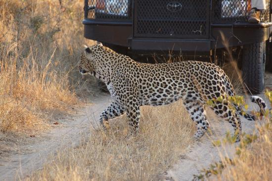 Simbambili Game Lodge: intense search for something to eat