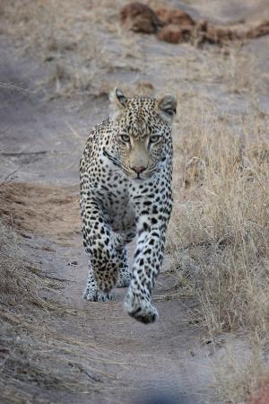 Simbambili Game Lodge: stalking an impala