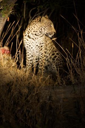 Simbambili Game Lodge: leopard with fresh kill