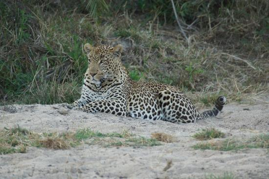 Simbambili Game Lodge: the most beautiful animal in the world!